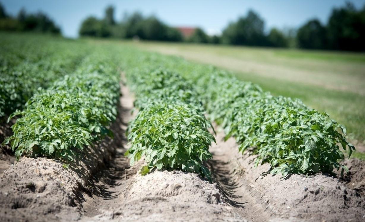 Картофель растет