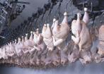 Крупнейшие производители мяса птицы в мире