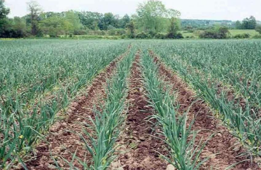 Выращивание чеснока как бизнес: бизнес-план, способы и особенности технологии. Выращивание чеснока в промышленных масштабах