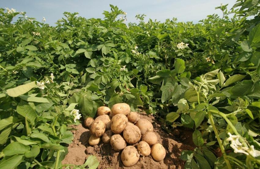 Как открыть бизнес на выращивание картошки