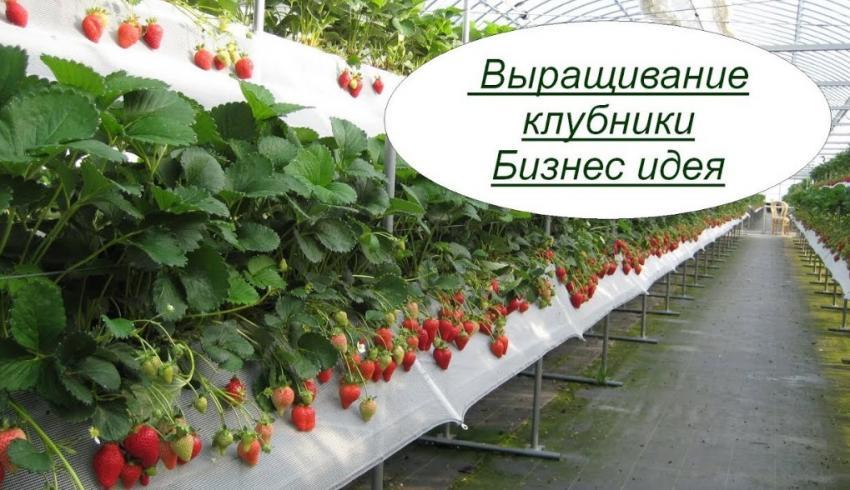 Как построить бизнеса на выращивании клубники