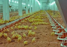 Кузбасская птицефабрика